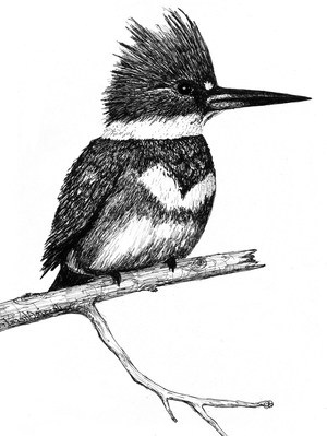 Kingfisher jpg from STIR page Flipped 5